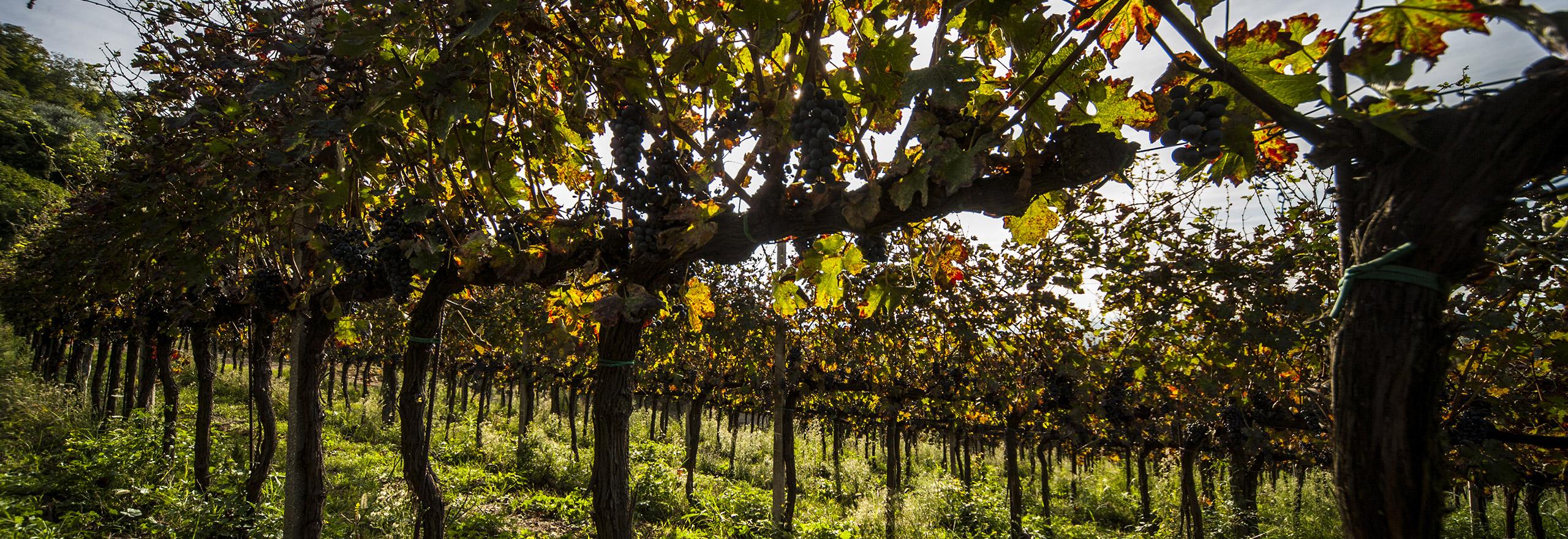 Vigne-dei-colli-euganei-Azienda-Agricola-Le-Volpi-