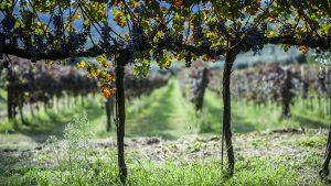 Azienda vinicola Colli Euganei - Azienda Agricola Le Volpi